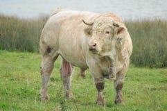 Charolaistjur/Charolles tjur fotografering för bildbyråer