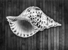 Charonia tritonis。 免版税库存照片