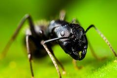 Charpentier Ant Photographie stock libre de droits