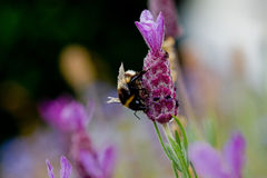Charpentier Bee Photo stock