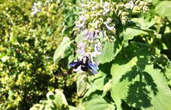 Charpentier pourpre de bourdon-le Espèces des abeilles simples de l'Apidae de famille D?tails et plan rapproch? photographie stock libre de droits