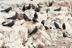 Charran Inca. A group of birds known as Charran Inca, scientific name Larosterna Inca, typical from deserted coasts of Peru and Chile.  Image taken in Iquique Royalty Free Stock Images