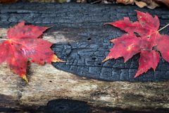 Charred blackened log background with two red leaves, renewal rebirth Royalty Free Stock Photography
