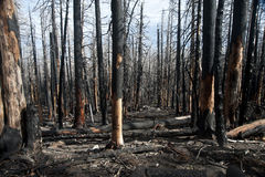 Charred forest Stock Photo