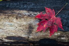 Charred log from forest fire with red leaf and space for text,. Horizontal aspect Stock Photo