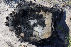 Charred pine stump, top view Royalty Free Stock Photos