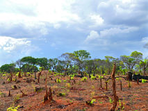 Charred stumps. Africa, Mozambique. Royalty Free Stock Image