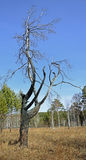 A charred tree on the background of blue sky.After the fire. Spring landscape royalty free stock image