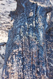 Charred tree trunk after fire Stock Images
