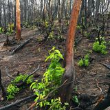 Signs of a wildfire and regrowth in the forest. The charred tree trunks show the scars of the devastating forest fire in the Great Smokey Mountains National Park royalty free stock images