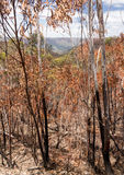 Charred trees in Blue Mountains Australia Stock Photo