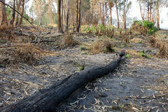 Charred trunks of trees after fire Royalty Free Stock Photos