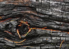 A charred wood of spruce pine needles Stock Photography