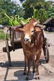 Charrette zebu Stock Image