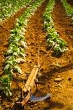 Charrue dans la culture de tabacco Image libre de droits