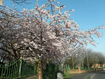 Charry blomning arkivbilder