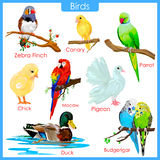 Chart of colorful birds Stock Images