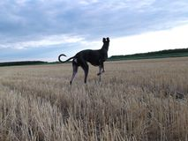 Chart polski in flattened the wheat. In his appearance to match the type of Asian greyhounds. Stronger body bones, short, flexible body, clearly visible Royalty Free Stock Image