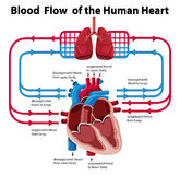 Chart showing blood flow of human heart Stock Photo