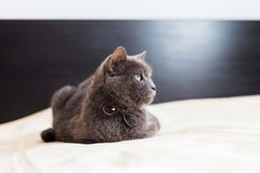 Chartreux Cat. Mature Chartreaux cat lying in bed Stock Image