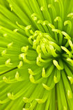 Chartreuse chrysanthemum. Close up of bright chartreuse color chrysanthemum Stock Photos