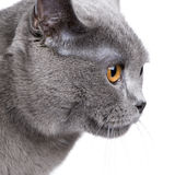 Chartreux (18 months) Royalty Free Stock Images