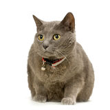 Chartreux Stock Photography