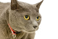 Chartreux Stock Photo