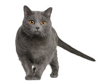 Chartreux (3 years old) Royalty Free Stock Images