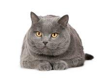Chartreux (7 anos) Foto de Stock