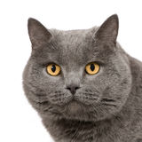 Chartreux (7 ans) Photographie stock