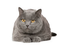 Chartreux (7 ans) Photo stock