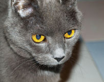 Chartreux. Detail of yellow eyes of Chartreux cat royalty free stock photo