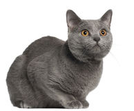 Chartreux cat, 10 months old Royalty Free Stock Photos