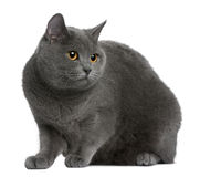 Chartreux cat Royalty Free Stock Photography