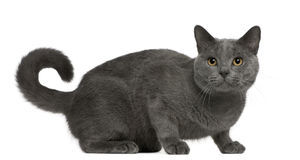 Chartreux cat, 16 months old, sitting royalty free stock image