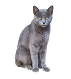Chartreux cat royalty free stock image
