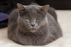 Chartreux cat. Grey Chartreux cat breed closeup sleeping on a bed Stock Photos