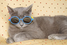 Chartreux cat with shades Stock Photography
