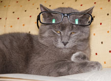 Chartreux cat is wearing glasses reading book royalty free stock photography