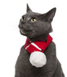 Chartreux cat wearing winter scarf, 3 years old Royalty Free Stock Image