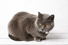 Chartreux gris del gato Imagen de archivo libre de regalías