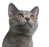 Chartreux kitten, 5 months old Stock Photo