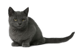 Chartreux Kitten sitting Royalty Free Stock Image