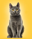 Chartreux kitten sitting, 6 months old, Royalty Free Stock Image