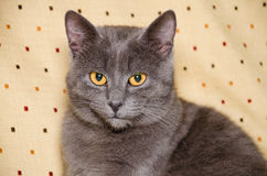 Chartreux kot, 6 miesięcy starych Obrazy Stock