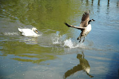 The chase. Swan chasing a canada goose on water Royalty Free Stock Photography