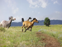 The Chase. Three Spanish Mustangs in Gallop Stock Photo