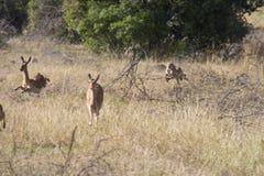 The chase. Cheetah at full speed hunting impala Royalty Free Stock Image