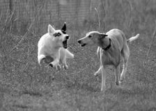 The Chase. Dogs chasing Royalty Free Stock Images